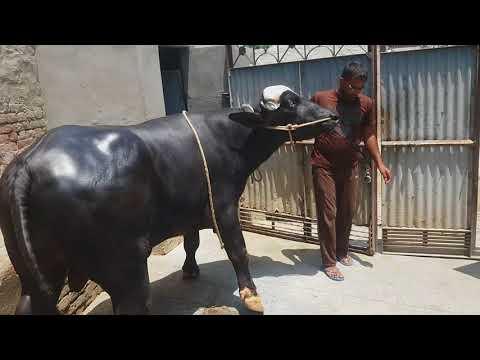 Young bull nili Ravi owner Jatinder Singh - Youtube Download