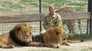 Выпуск львов в сафари-парке