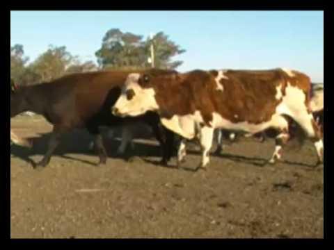 Lote 20 Vaquillonas Vacas Preñadas 7 Hereford, 4 Normando y 9 cruzas: 6 Normando x Hereford, 1 A. Angus x Holando x Limousín y 2 Braford x Normando 380kg -  en EL PAMPA  Sopas, por camino vecinal, 20 kms al Norte de Ruta 31 km 144 (Carumbé).