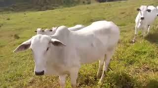 Bovino Corte Nelore Novilha - e-rural Imagens