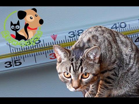 Температура у собак. Температура у кошек. Как сбить температуру. Причины повышения
