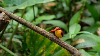 Rufous-backed Kingfisher (Male) 三趾翠鸟 in Malaysia Rainforest