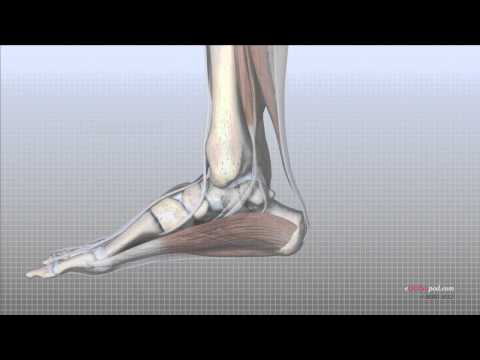 Download Foot Anatomy Animated Tutorial Mp4 HD Video and MP3