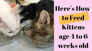 What & How to Feed Kittens age 4 to 6 Weeks old