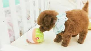 Chocolate Toy Poodle Coco