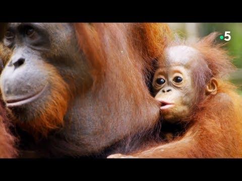 Pas facile de faire son documentaire avec des orangs-outans turbulents !