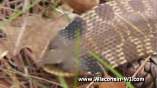 Eastern Hognose Snake in Wisconsin