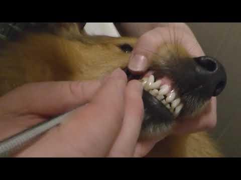 VDH Shelties vom Ponyhügel: So entfernen wir Zahnstein beim Hund!
