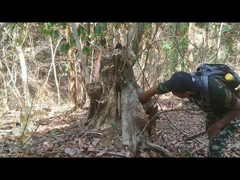 Mencari sarang lebah madu liar hutan