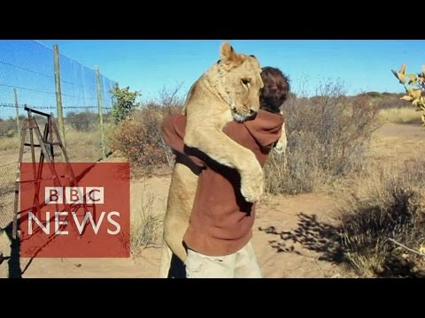 Lion hugger: This is how Sirga the lion greets her owner - BBC News