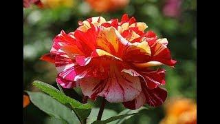 Правила выращивания роз флорибунда видео