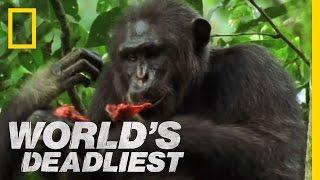 Killers Like Us: Chimpanzees | World's Deadliest