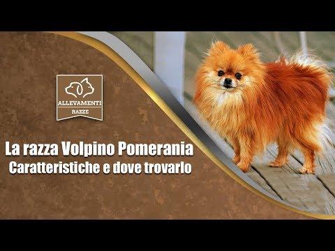 Volpino Pomerania - Caratteristiche e dove trovarlo - Documentario