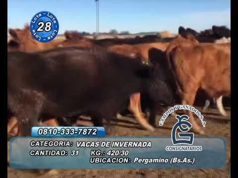 Lote Vaca Inv - Pergamino