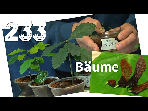 Einheimische Bäume Spitzahorn Samen keimen in der Natur