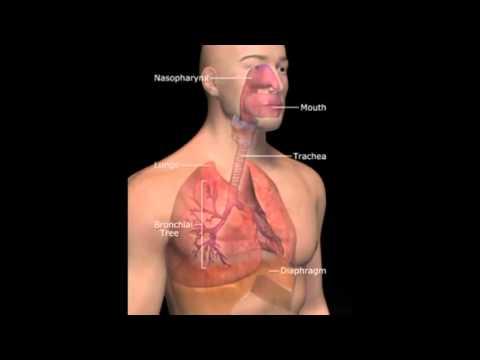 Механизмы дыхания человека