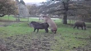 Tapir Mating