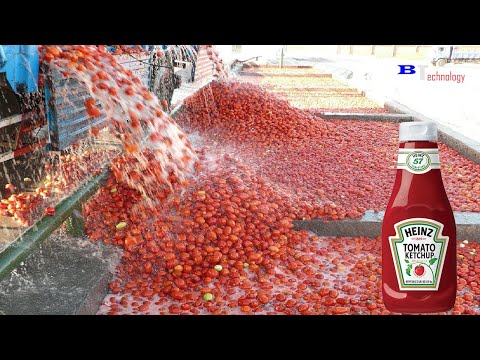 How Tomato Ketchup Is Made, Tomato Harvesting And Processing Process With Modern Technology