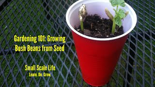 Gardening 101: Growing Bush Beans from Seed