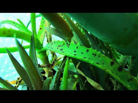 Aloe parazita kezelés