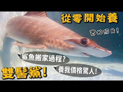 鯊魚也是可以當寵物的