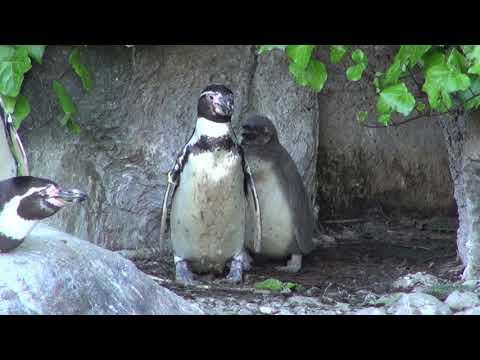 高知県立のいち動物公園  フンボルトペンギンの親子