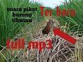 Download Lagu Suara Pemanggil Pikat Burung Tikusan Mata Merah Mp3 Free