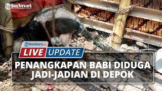 LIVE UPDATE: Penangkapan Babi Diduga Jadi-jadian di Depok, Membuat Heboh Warga Sekitar