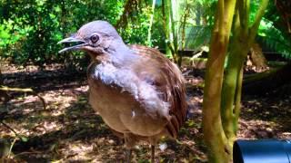 The Amazing Lyrebird: The Best Songbird! - طائرالقثارة أفضل طائر مغرد
