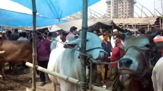 preview picture of video 'Qurbani Eid Dhaka, Bangladesh - Komolapure cha khawar shomoi  2011.MPG'