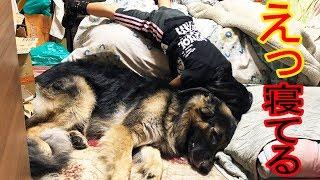 エッ!秋田犬・全力出すと凄いよ・もの凄い寝相のシェパード犬と孫娘
