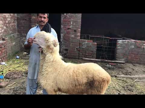 Mundra chatra sheep bakra mandi pakistan mandi wala goat