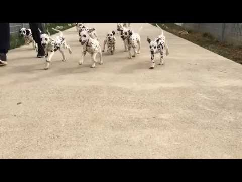 cuccioli dalmata altamente selezionati | video 1