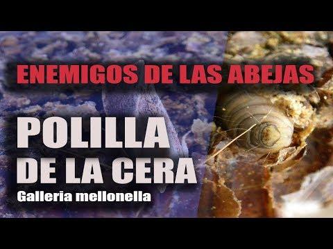 , title : 'ENEMIGOS DE LAS ABEJAS, LA POLILLA DE LA CERA