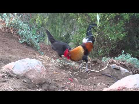 Stag courting behavior - American game fowl