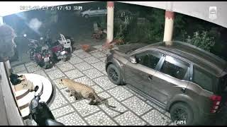 Leopard's Attacks on Pet Dogs | HIMACHAL | NASHIK | Keep your Pet Animals Safe