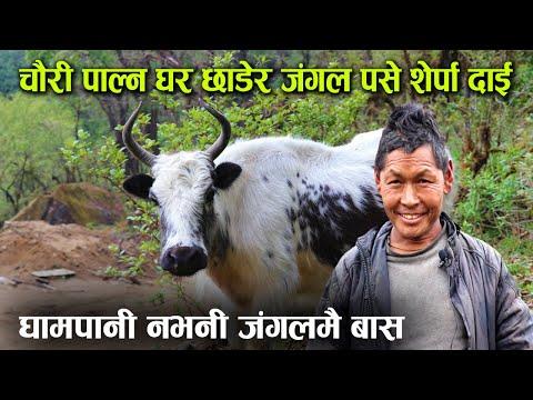चौरी पाल्न गाउँभन्दा पर जंगलमा बस्न थाले, घुम्ती गोठ लिएर पुग्छन् लेकसम्म ! │Nepal Chitra