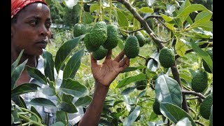 DETAILS: Was Kenya the fool in Chinese-avocado deal?