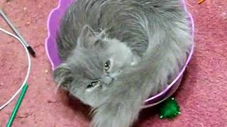 Funny Persian Kitten Playing in an Easter Basket