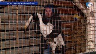 Премьер Мариинского театра Игорь Колб и съемочная группа НТ спасли раненого лебедя