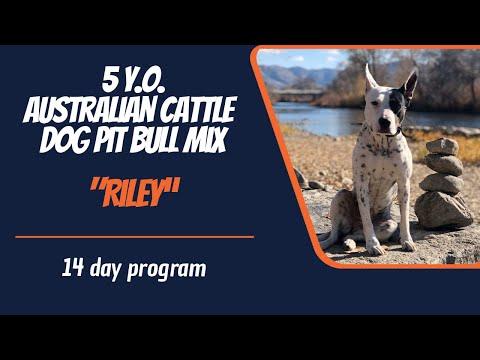 AUSTRALIAN CATTLE DOG PIT BULL MIX / DOG TRAINING