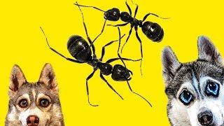 НАПАДЕНИЕ МУРАВЬЕВ!! (Хаски Бандит) Говорящая собака Dogvlog