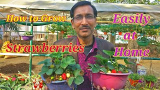 The Best Way of Growing and Harvesting Strawberries at Home.