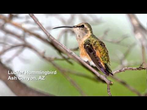 ± Free Streaming Amazing Birds of America