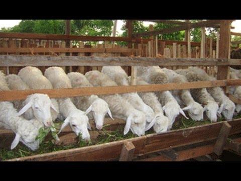 Video Ternak Kambing 082138373443 , Budidaya Kambing, Penggemukan kambing