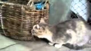 Кошка прогнала Овчарку))