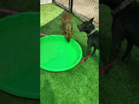 Kiara, an adopted Labrador Retriever Mix in Chichester, NH_image-1