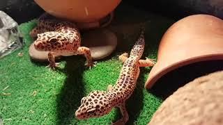 Чего не умеют делать ящерицы гекконы