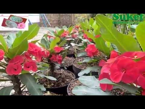 Video Peluang Usaha Tanaman Hias Euphorbia