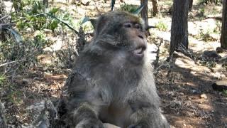 preview picture of video 'Maroko - Gurugu a Makaky (Macaca sylvanus) - Opica žerie banán a pýta viac'